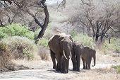 African Elephant Family Walking
