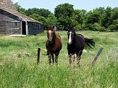 two horses in fence