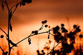 Thistle, Dry Grass Silhouette