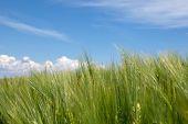 Green barley field