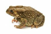 Asian Common Toad On White