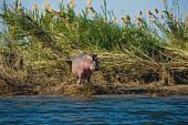 hippo in the reed