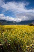 image of yellow flower  - yellow oil flower in moutain valley with road passing by - JPG