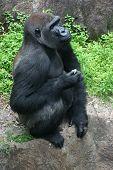 Gorilla in pensive mood