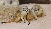 picture of meerkats  - Family meerkats in the safari - JPG
