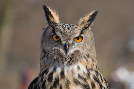 image of owls  - Eagle Owl An eagle owl in wildlife on portrait - JPG
