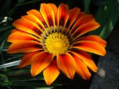 foto of drought  - gazaniasolar flower drought resistant plant that will decorate any flower bed  - JPG
