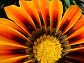 image of drought  - gazaniasolar flower drought resistant plant that will decorate any flower bed - JPG