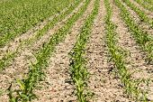 picture of maize  - growing cultivated agricultural countryside green maize field - JPG