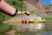 image of boise  - Wild brown trout caught in Eastern Oregon near Boise - JPG