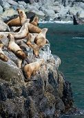image of sea lion  - A group of sea lions glaze about while sitting on warm rocks. ** Note: Visible grain at 100%, best at smaller sizes - JPG