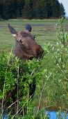 stock photo of marsh grass  - A young female moose chews on alder with a marsh in the background  - JPG