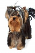 stock photo of yorkshire terrier  - Puppy of the Yorkshire Terrier with top knot stands on white background - JPG