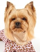 foto of yorkshire terrier  - Portrait of cute Yorkshire Terrier with stylish haircut wearing paychy coveralls sits on white background - JPG