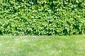 picture of ivy  - Ivy covering the wall with lawn in the foreground - JPG