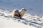 pic of sea lion  - This is a picture of a sea lion pup running down a sand dune on sandfly bay in Dunedin - JPG