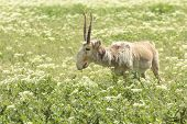 stock photo of antelope horn  - male saiga with long horns stands in the green field in Askania - JPG