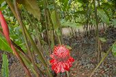 image of torches  - Red Torch ginger flower in the garden in Martinique - JPG