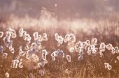 image of spiderwebs  - cottograss and spiderweb in misty morning sunlight - JPG