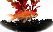 stock photo of goldfish  - goldfish in fishtank on white Closew up shot - JPG