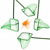 stock photo of goldfish  - goldfish escaping from fishnet isolated on a white background - JPG