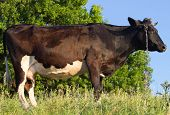 pic of pastures  - The black cow in the pasture  - JPG