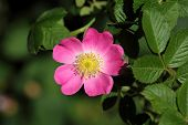stock photo of wild-brier  - Flower of a sweet briar rose  - JPG