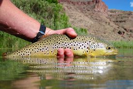 pic of boise  - Wild brown trout caught in Eastern Oregon near Boise - JPG