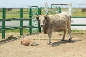 image of cattle breeding  - gray ukrainian breed of a cattle cow and her cub - JPG