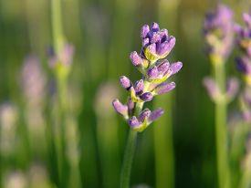 stock photo of nasturtium  - Violet flowers of nasturtium in the field - JPG