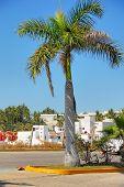 Palm In Mazatlan