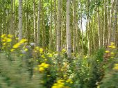 Birch Trees In East Kazakhstan