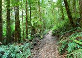 Rainforest walking track, Yarra Ranges, Victoria, Australia.  Mountain ash and myrtle beech trees, a