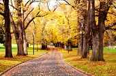 Fall colors ~ glorious golden elm trees in a park, with a road winding through it.