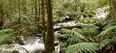 Rainforest river panorama, with tree ferns, mossy boulders, and ancient myrtle beech trees.  Yarra R