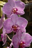 Pink Striped Orchids