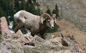 Foraging Bighorn Sheep