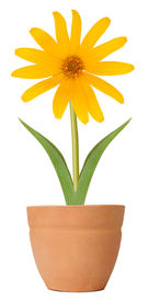 picture of flower pot  - Susan flower growing in a flower pot - JPG