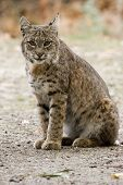 Bobcat Sitting  Alone