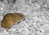 Vole On Gravel