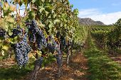 Okanagan Vineyard Ready for Harvest