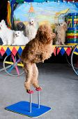 Red Poodle Standing