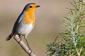 Beautiful orange robin perched on a branch