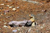 Columbian Ground Squirrel (Urocitellus columbianus)