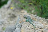 Eastern Collared Lizard Basking