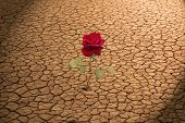 Red Rose Growing in Cracked Earth