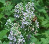 stock photo of catnip  - Up close view of bee on catnip - JPG