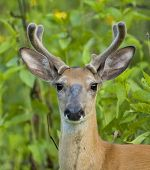 stock photo of deer head  - Whitetail deer buck head - JPG