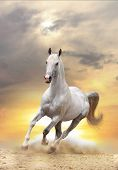 stock photo of herd horses  - white stallion galloping in dust in a sunset - JPG