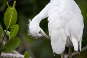 Fuzzy Head Of A Young Great Egret Bird Ardea Alba poster